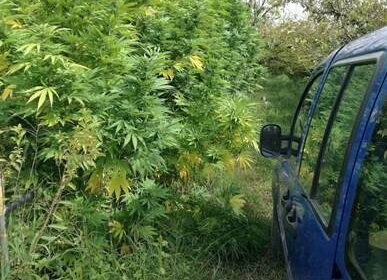 marijuana22
